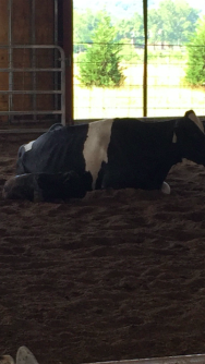 Cow.3